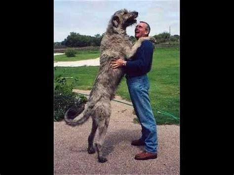 imagenes de animales jigantes los perros mas grandes del mundo youtube
