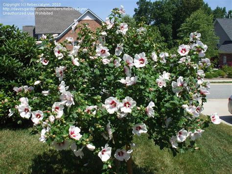 althea plant plantfiles pictures of shrub althea hibiscus syriacus by rebeccalynn