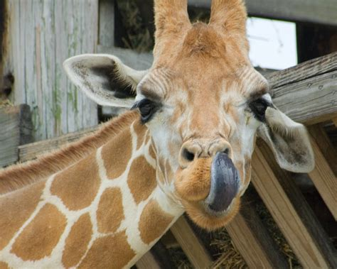 what color is a giraffe s tongue giraffe s tongue lyn humanic flickr