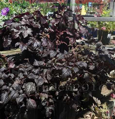 Chocolate Garden Michigan by Plantfiles Pictures Astilbe False Spirea False Goat S