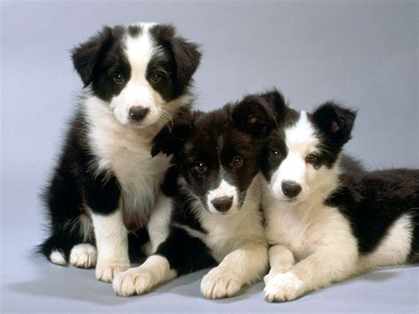 border collie puppy pictures border collie pup examining a hedgehog m5x eu