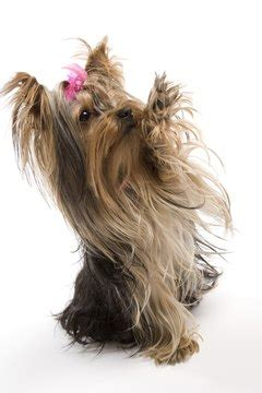 yorkie puppy pets