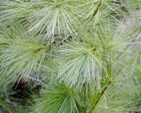 eastern white pine breaking new ground in zone 5