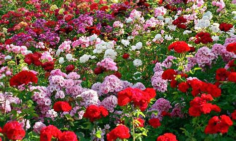 International Flowers by Culture Events In Gangtok Sikkim International Flower