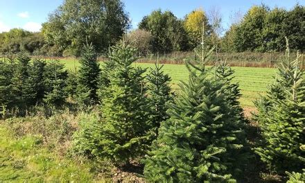 newbury christmas tree farm in newbury groupon