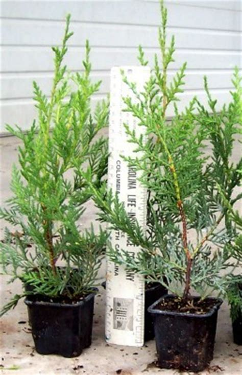 how to fix a leaning christmas tree leyland cypress quicktrees