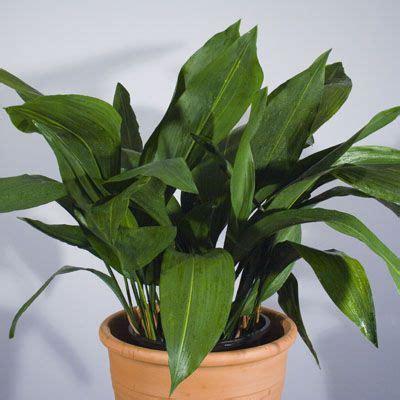 aspidistra elatior aspidistra elatior cast iron plant buy it pinterest
