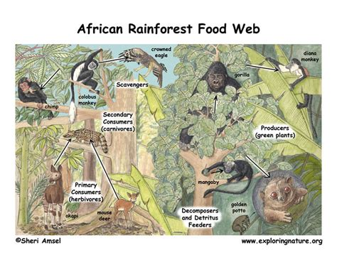 all tropical rainforests animals search results insectanatomy african rainforest food web
