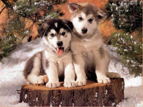 free husky puppies husky puppies wallpaper free 2 background hivewallpaper