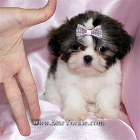 white teacup shih tzu puppies puppy dogs black and white shih tzu puppies