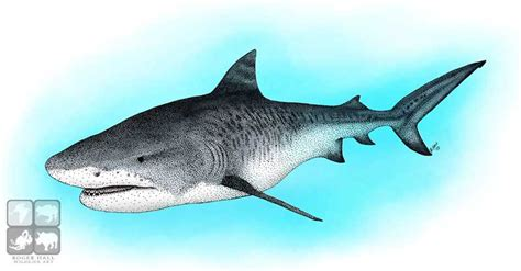 what color are sharks tiger shark galeocerdo cuvier line and color