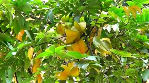 4 fruit tree a beautiful fruit tree kamranga in bengali