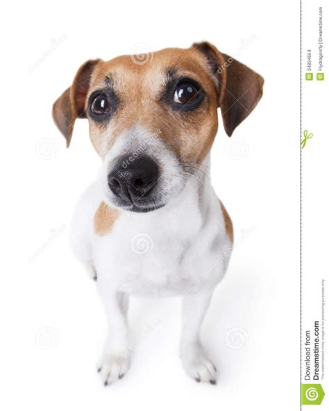 smartest small dogs smart small stock images image 34834654
