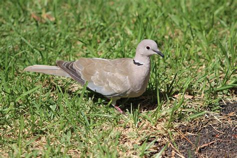 ring necked dove photograph by dave philp