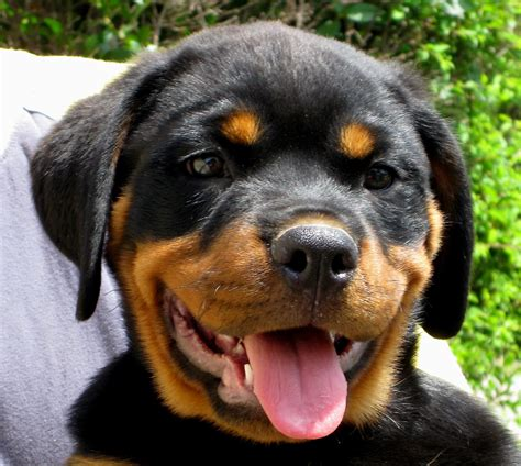 images of rottweilers file rottweiler puppy jpg wikimedia commons