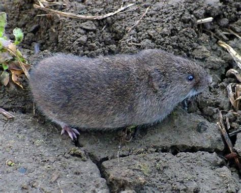 Backyard Rodents by Savvy Housekeeping 187 How To Remove Voles From Your Garden