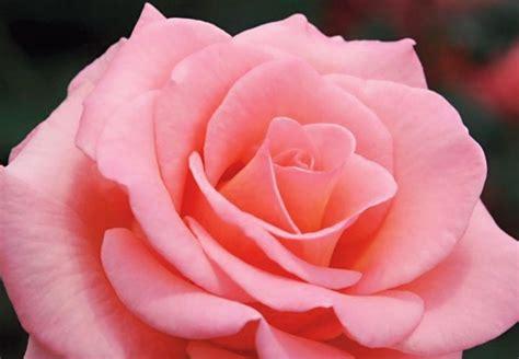 wallpaper bunga inggris gambar bunga mawar lengkap dengan jenis jenisnya