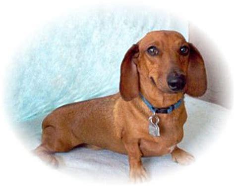 dachshund puppies az brindle adopted tucson az dachshund