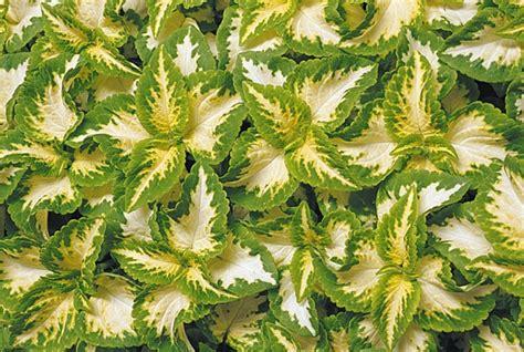 garden foliage plants wizard jade coleus