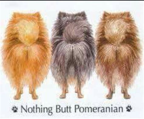 pomeranian quotes pin by robin doyle on pomeranian pomeranians