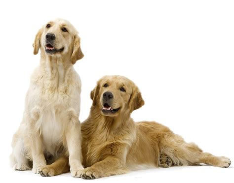 golden retriever intelligence chien golden retriever chien et chiot fiche de race du chien golden retriever
