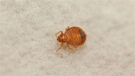 bed bug exterminator detroit bed bug rankings san diego thankfully way down the list