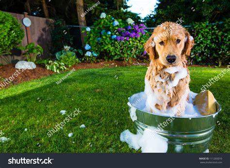 golden retriever puppy bath time bath time for a golden retriever stock photo 111265010