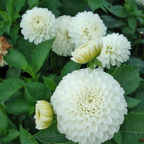 Dahlia Top 2 dahlias snow cap de jolis pompons blanc pour massifs et