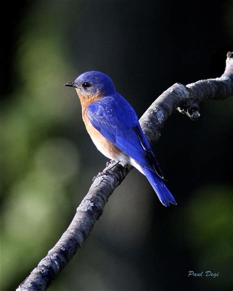 michigan bluebird michigan in pictures