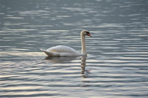 swan swimming white mute swan swimming on a lake 9013 stockarch free