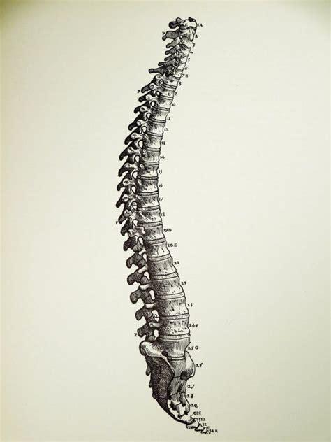 1950 human spine original vintage anatomy vesalius art