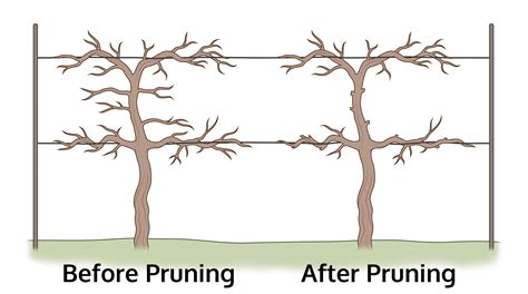 when to cut back a grapevine how to prune grapes how to trim a grapevine