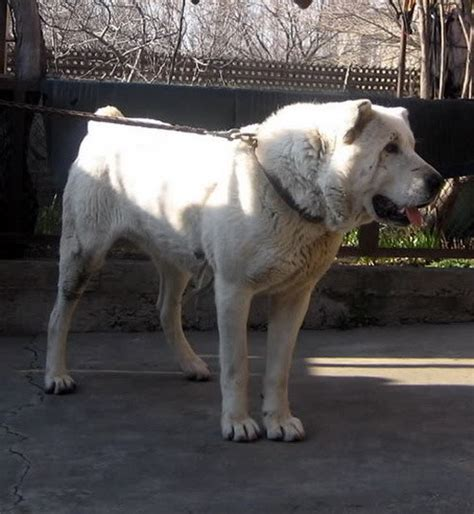 Kaukasian Dog With Short Hair | another wolf killer the many faces of the caucasian