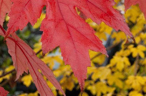 autumn blaze maple trees  superior  wild