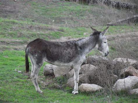 burro animal trajinha o burro um animal de trabalho em vias de extin 231 227 o