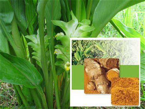 Bibit Tanaman Herbal Temu Lawak tanaman obat budidaya tanaman herbal di rumah