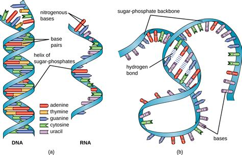 rna structure diagram structure and function of rna textbook chapters