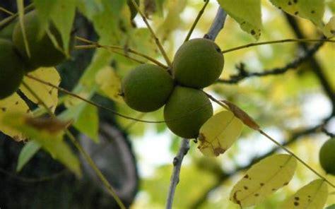 maryland fruit trees toxic plant profile black walnut of maryland