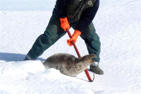 baby seal cub half a million seal cubs will be beaten to as