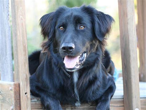 Setter Dog Black | black lab irish setter mix mixed breed dogs pups