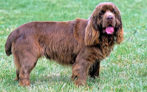 sussex spaniel puppies sussex spaniel breeders puppies and breed information