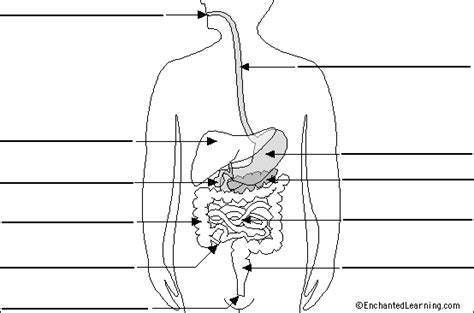 blank digestive system diagram label digestive system diagram printout simple version