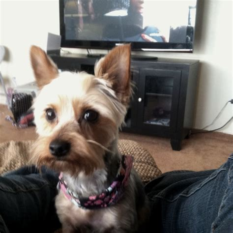 silky terrier haircuts 71 best images about silky terriers on pinterest