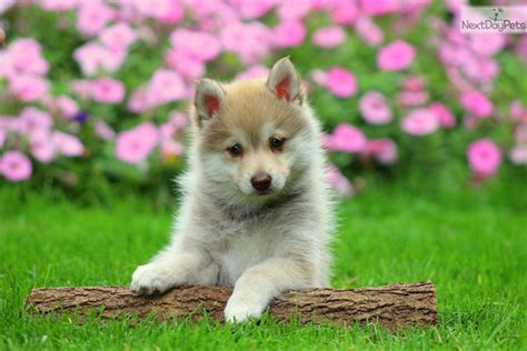 places to get puppies near me where to get a puppy near me pets world