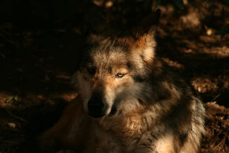 wallpaper abyss wolf wolf 4k ultra hd wallpaper and background 3888x2592 id