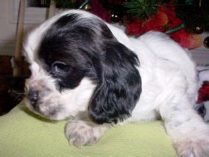 miniature cocker spaniel puppies for sale cocker spaniel puppies for sale