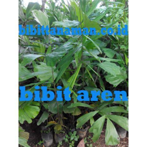Jual Bibit Aren Jambi jual bibit tanaman unggul murah di purworejo