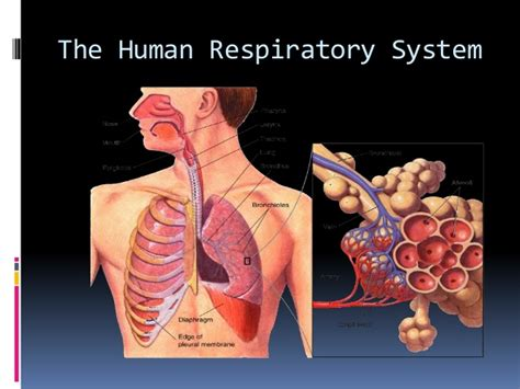 section 37 3 the respiratory system respiration in organisms