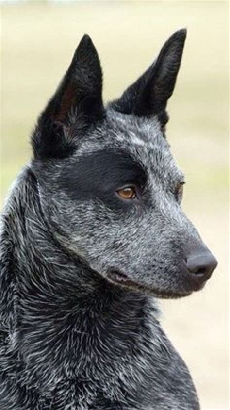 Australian Cattle Shedding by Korean Jindo Breed Info Pictures Characteristics