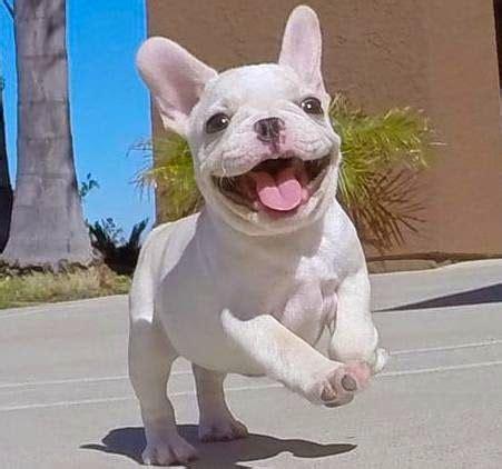 teacup bulldog puppies sale 25 best ideas about miniature bulldog on teacup animals